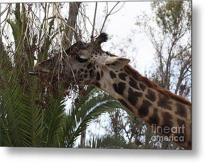 Metal Print featuring the photograph Giraffe Feeding by John Telfer