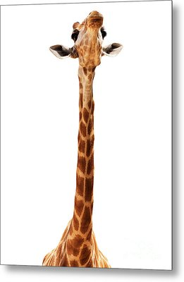 Giraffe Head Isolate On White Metal Print by Mythja  Photography