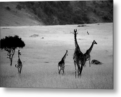 Giraffe In Black And White Metal Print by Sebastian Musial