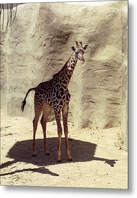 Giraffe Metal Print by Philomena Zito