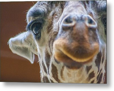 Giraffe Portrait Metal Print by Dawn Romine