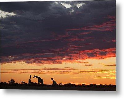 Giraffe Trio At Sunset Nxai Pan Np Metal Print by Theo Allofs