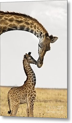 Giraffe's First Kiss Metal Print
