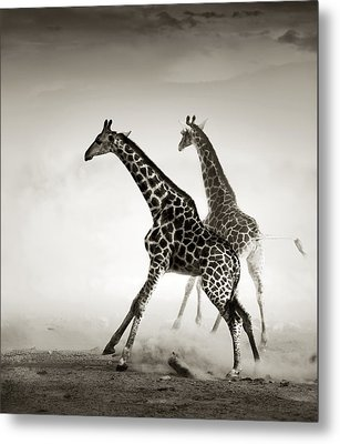 Giraffes Fleeing Metal Print