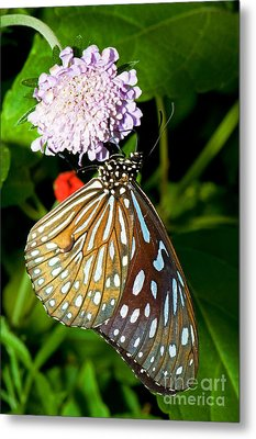 Glassy Blue Tiger Butterfly Metal Print by Millard H. Sharp