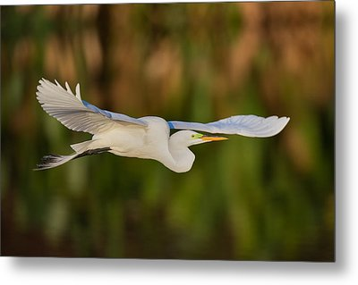 Gliding Great Egret Metal Print by Andres Leon