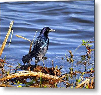 Glorious Grackle Metal Print by Al Powell Photography USA