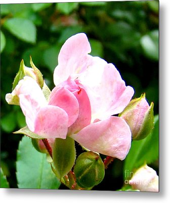 Glorious Rosebud Metal Print by Leea Baltes