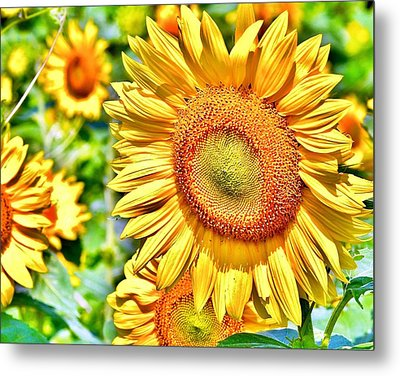 Glorious Sunflowers Metal Print