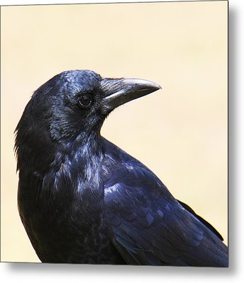 Glossy Crow Metal Print by Bob and Jan Shriner