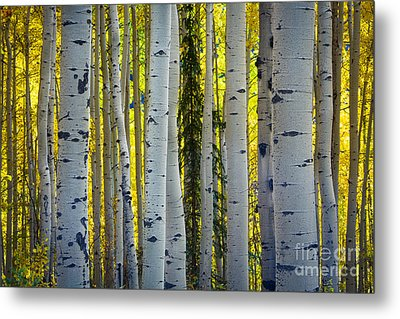 Glowing Aspens Metal Print by Inge Johnsson