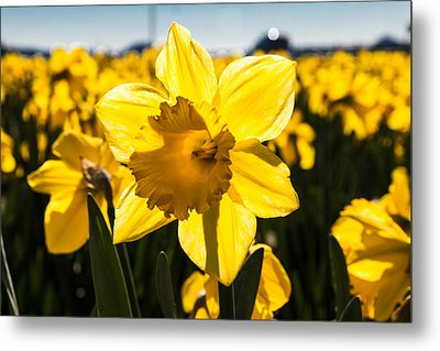 Glowing Daffodil Metal Print