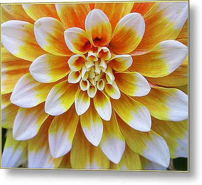 Glowing Dahlia Metal Print by Dora Sofia Caputo Photographic Art and Design