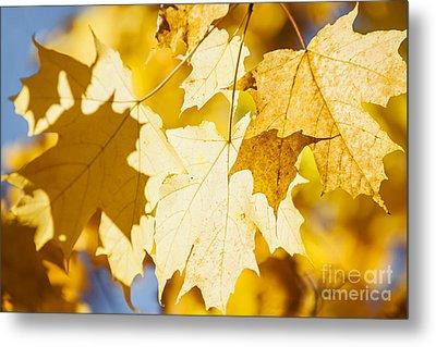 Glowing Fall Maple Leaves Metal Print by Elena Elisseeva