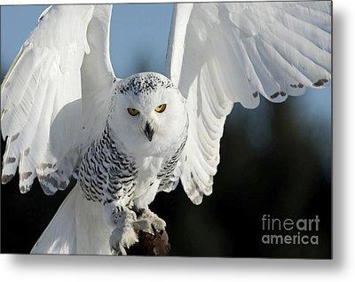 Glowing Snowy Owl In Flight Metal Print