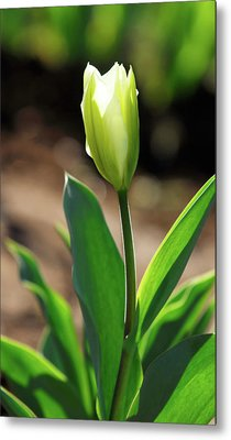Metal Print featuring the photograph Glowing Tulip by Arthur Fix