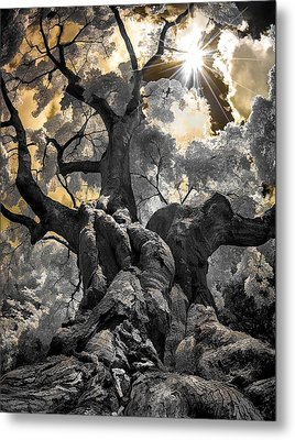 Metal Print featuring the photograph Gnarled Maple by Steve Zimic