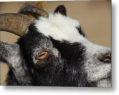 Goat 5d27189 Metal Print by Wingsdomain Art and Photography