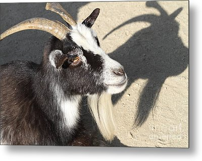 Goat 7d27402 Metal Print by Wingsdomain Art and Photography