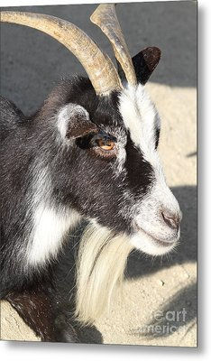 Goat 7d27405 Metal Print by Wingsdomain Art and Photography