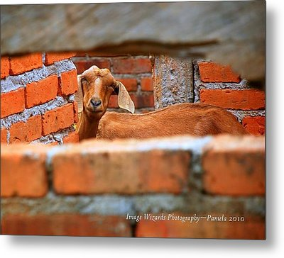 Goat In A Box Metal Print by ARTography by Pamela Smale Williams