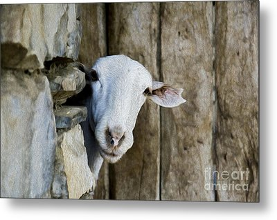 Goat Looking Oleo Metal Print