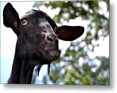 Goat Metal Print by Tara Potts