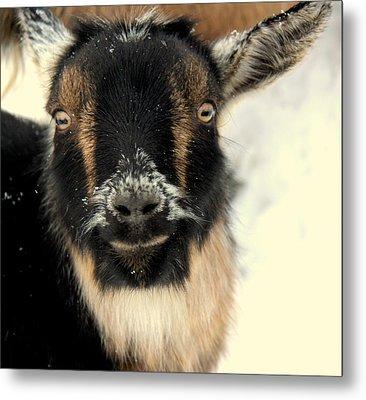 Goatstache Metal Print by Kathy Bassett
