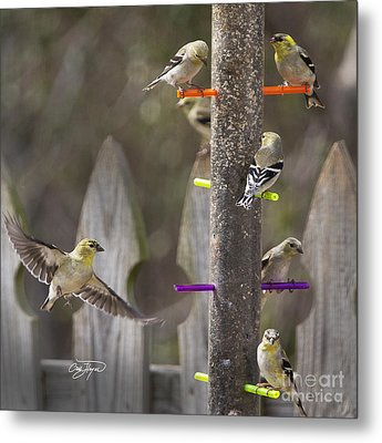 Gold Finch Cleared For Landing Metal Print by Cris Hayes