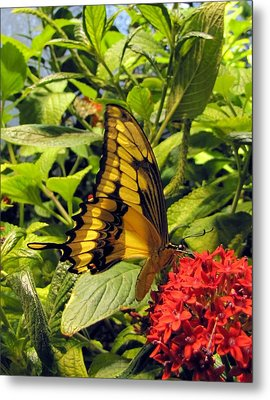 Gold Giant Swallowtail Metal Print by Jennifer Wheatley Wolf