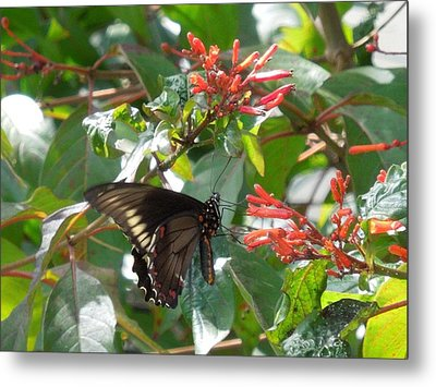 Metal Print featuring the photograph Gold Rim Swallowtail by Ron Davidson