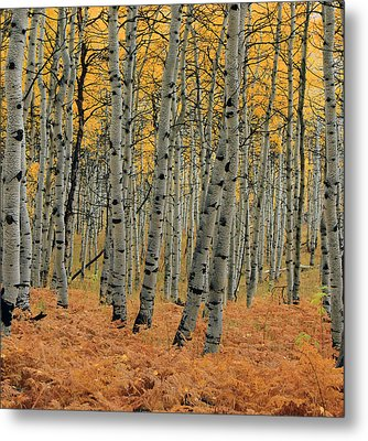 Golden Aspen Forest Metal Print by Johnny Adolphson