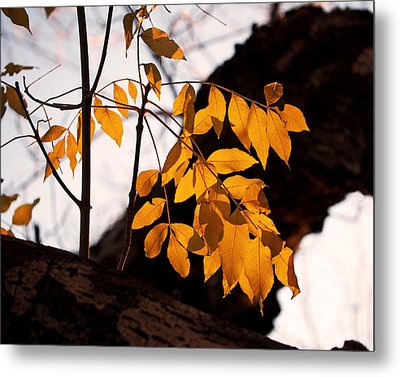Golden Beech Leaves Metal Print by Rona Black