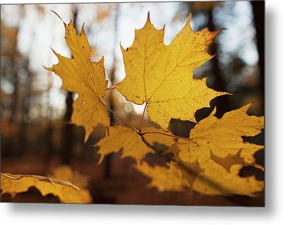 Golden Coloured Maple Leaves In Autumn Metal Print by Ron Bouwhuis
