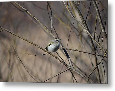 Metal Print featuring the photograph Golden-crowned Kinglet by James Petersen