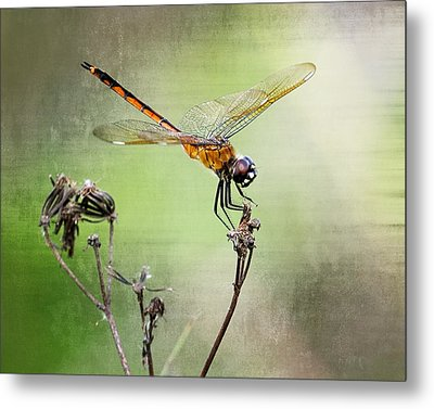 Metal Print featuring the photograph Golden Dragonfly II by Dawn Currie