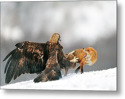 Golden Eagle And Red Fox Metal Print