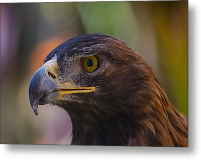 Golden Eagle Metal Print by Garry Gay