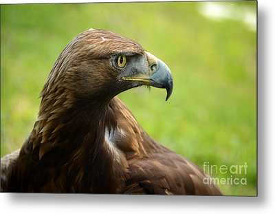 Golden Eagle Metal Print by RicardMN Photography
