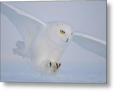 Golden Eyes On The Hunt Metal Print