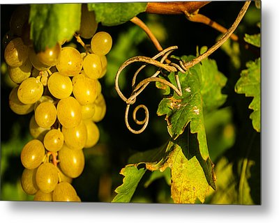 Golden Grapes On Vines Metal Print by Meir  Jacob