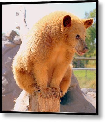 Golden Grizzly Cub Metal Print