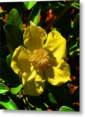 Golden Guinea Flower Metal Print