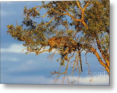 Golden Leopard In The Tree Metal Print by Maggy Meyer
