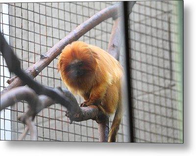 Golden Lion Tamarin - National Zoo - 01131 Metal Print