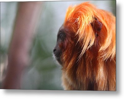 Golden Lion Tamarin - National Zoo - 011312 Metal Print by DC Photographer