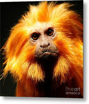 Golden Lion Tamarin Metal Print