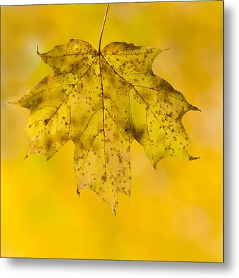 Golden Maple Leaf Metal Print by Sebastian Musial