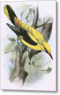 Golden Oriole Metal Print by English School