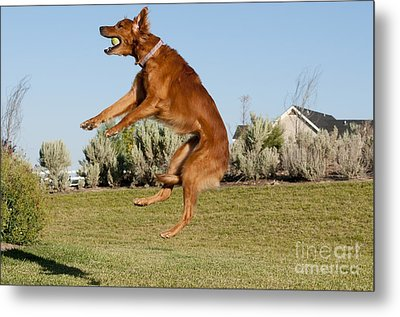 Golden Retriever Catching A Ball Metal Print by William H. Mullins